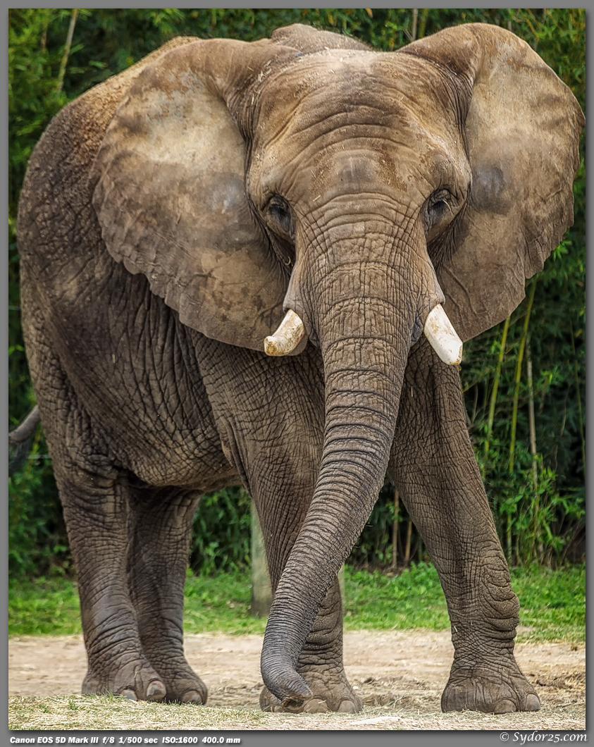 IMAGE: http://sydor25.com/Pictures/CPZ_Elephants_03.28.13-37_8x10.jpg
