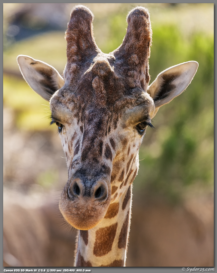 IMAGE: http://sydor25.com/Pictures/DZ_Giraffes_2.16.13-157_8x10.jpg